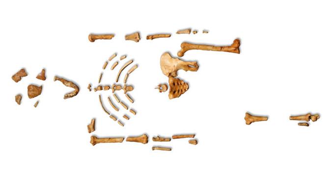 Lucy skeleton, Australopithecus afarensis