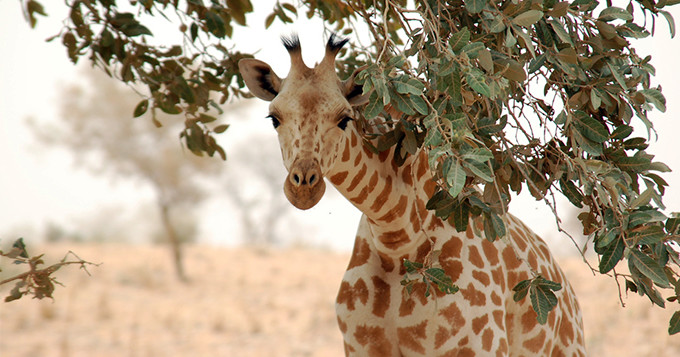 A West African Giraffe peeks under an Acacia tree in the tiger bush near Koure, Niger