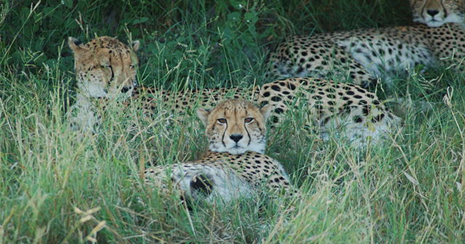 Cheetahs lying in the grass. Image credit: Joachim Huber, Wikimedia